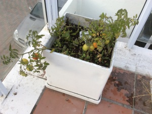 Tomatoes for my roof top garden